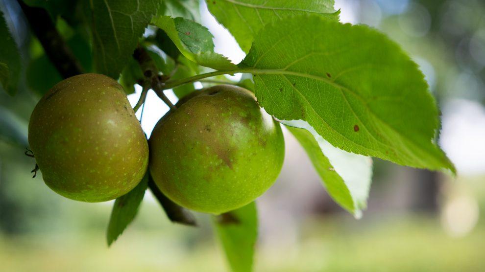Frischer geht es nicht: Wer möchte, kann die Äpfel direkt von den gemeindeeigenen Bäumen pflücken und genießen. Foto: André Thöle