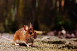 Der Erreger des Hanta-Virus wird durch den Kot infizierter Mäuse auf den Menschen übertragen. Symbolfoto: Pixabay / Alexas_Fotos