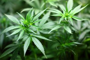 Gleich drei professionelle Cannabis-Plantagen entdeckte die Polizei in Wallenhorst. Symbolfoto: Pixabay