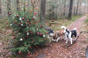 In den Hollager Königstannen steht auch in diesem Jahr der geschmückte Weihnachtsbaum. Foto: Michael Inderwisch