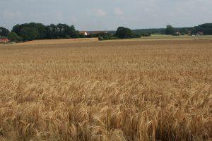 Eschfläche mit südlich der Lechtinger Windmühle, wo die mittelalterliche Hofanordnung rings um eine Eschfläche beispielhaft erhalten geblieben. Foto: Klaus Mueller