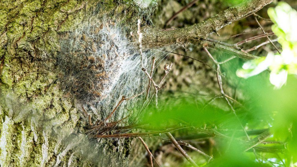 Ein von einem Gespinst bedecktes Nest des Eichenprozessionsspinners. Foto:Thomas Remme