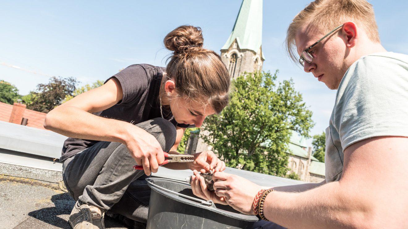 Auf dem Dach des Rathauses werden die jungen Mauersegler von Irina Würtele und Lennart Haak beringt. Foto:Thomas Remme