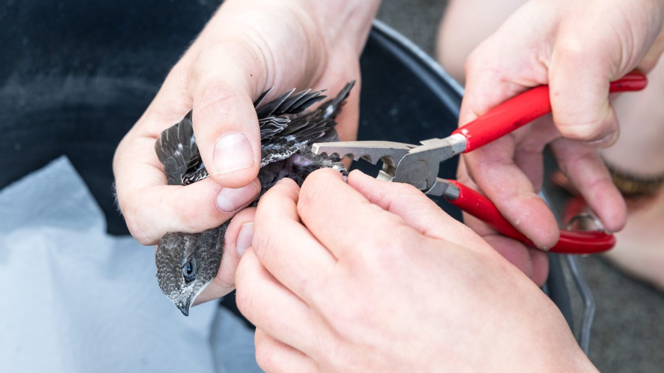 Der Sitz der Alu-Ringe wird sorgfältig geprüft. Für die Vögel sind diese keine Behinderung. Foto:Thomas Remme