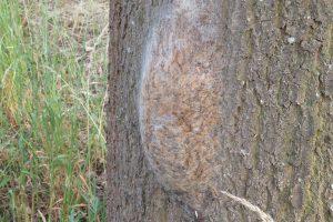 Bleiben gefährlich: Auch von verlassenen Nestern des Eichenprozessionsspinners können Gefahren ausgehen. Foto: Peter Tenhaken/Landkreis Osnabrück