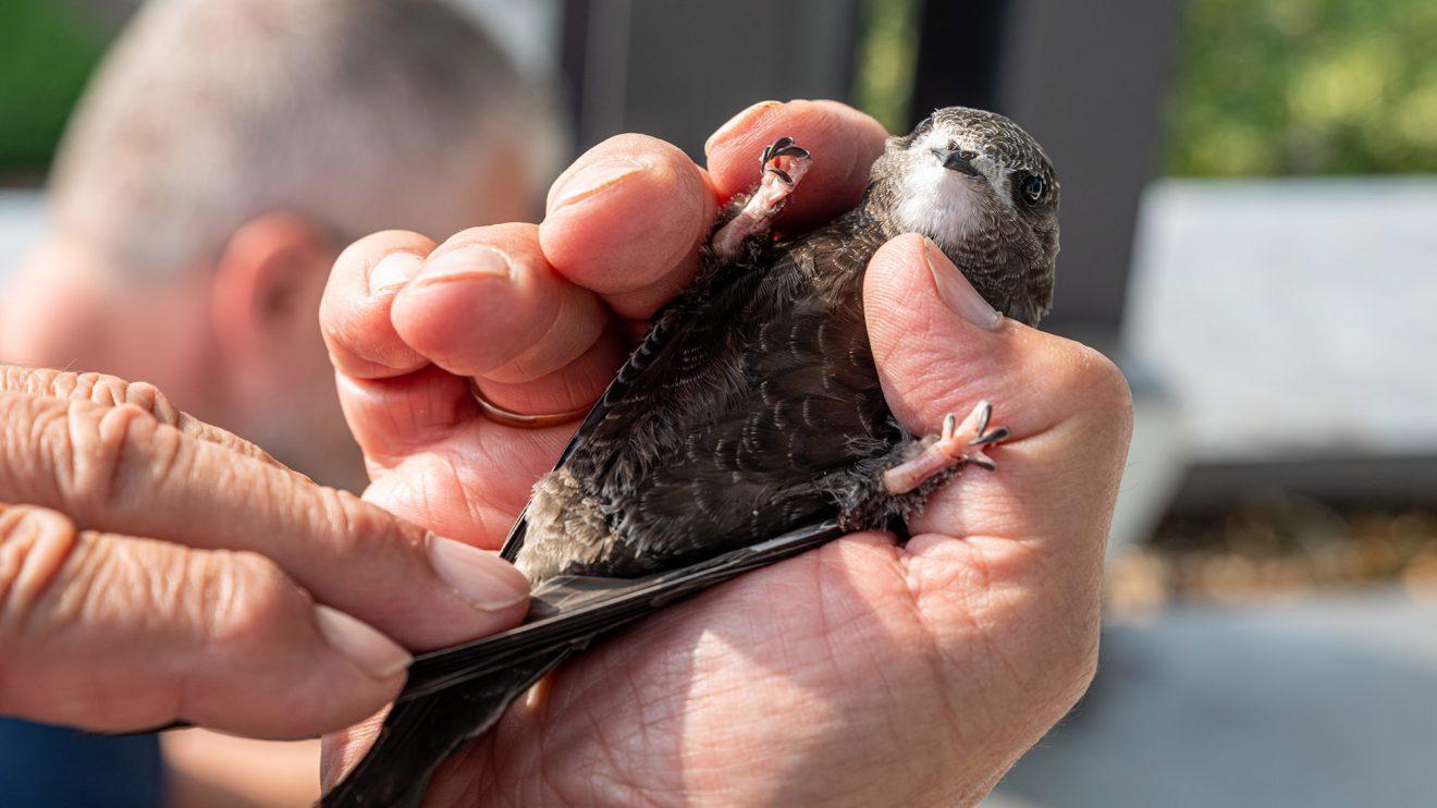 Vorsichtig werden die Nestlinge auf Zustand und Parasiten kontrolliert. Der Ring der Vogelwarte wird um das linke Bein gelegt und dann zugedrückt. Foto: Gemeinde Wallenhorst / Thomas Remme