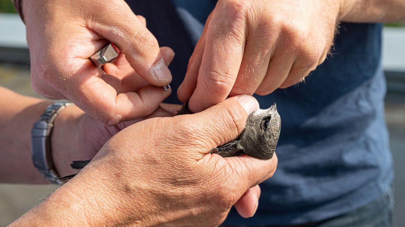 Vorsichtig und mit jahrelanger Erfahrung beringt Diplom-Biologe Axel Degen einen Jungvogel in wenigen Sekunden. Foto: Gemeinde Wallenhorst / Thomas Remme