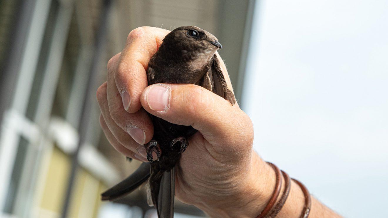 Ebenfalls beringt: ein Altvogel aus der Mauersegler-Kolonie. Foto: Gemeinde Wallenhorst / Thomas Remme