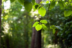 Der Landkreis Osnabrück appelliert: Achtsamkeit im Wald aufgrund extremer Trockenheit – Buchen verlieren ohne Vorwarnung Äste. Symbolfoto: Pixabay / marekkokes