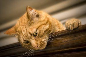 Dank des Engagements wird die Kastration, Kennzeichnung mittels Transponder und Registrierung von obdachlosen freilebenden Katzen und Katern, denen kein Besitzer oder Halter zugeordnet werden kann, ermöglicht. Symbolfoto: Pixabay / Simone_ph