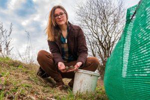 Wallenhorsts Umweltbeauftragte Isabella Draber mit zwei Erdkrötenpärchen am Schutzzaun in Hollage-Brockhausen. Foto: André Thöle / Gemeinde Wallenhorst