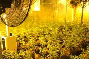 Eine der entdeckten Cannabis-Indoorplantagen. Foto: Polizeiinspektion Osnabrück